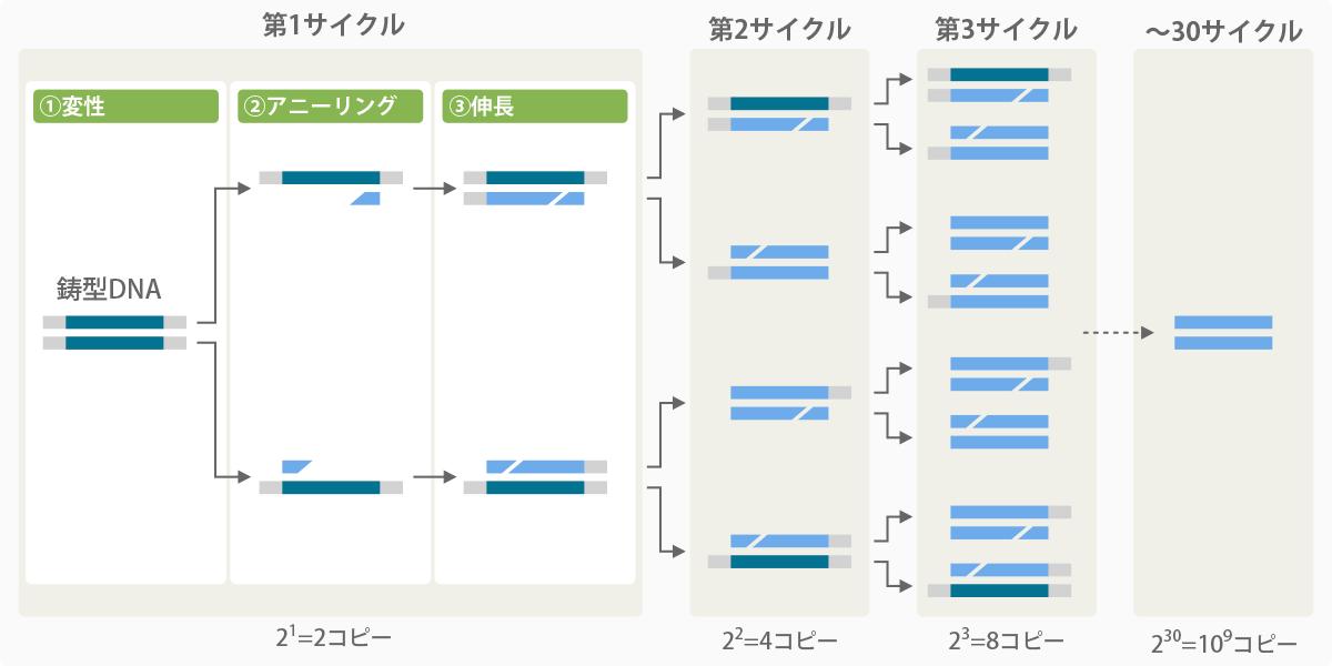 PCRサイクル図